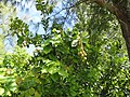 Starr-150401-1178-Calophyllum inophyllum-fruit and leaves-West Beach Sand Island-Midway Atoll (25246788446).jpg