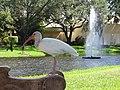 Starr-160716-0138-Stenotaphrum secundatum-with Ibis on bench around water feature-Boca Regional Hospital-Florida (29668093505).jpg