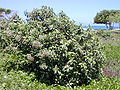 Starr 010828-0001 Pluchea carolinensis.jpg