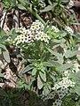 Starr 030523-0010 Heliotropium curassavicum.jpg