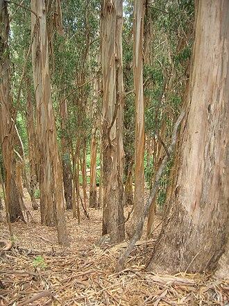 Eucalyptus globulus - Image: Starr 050818 4121 Eucalyptus globulus