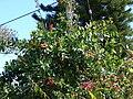 Starr 070306-5211 Norantea guianensis subsp. guianensis.jpg