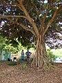 Starr 070413-6935 Ficus benjamina.jpg