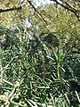 Starr 071224-0474 Rosmarinus officinalis.jpg