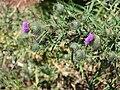 Starr 080301-3111 Cirsium vulgare.jpg