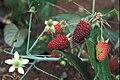 Starr 970603-0069 Rubus glaucus.jpg