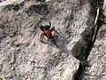 Stepnik moravsky (Eresus moravicus).jpg