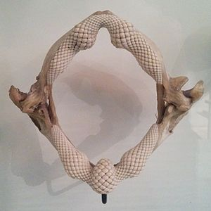 Stingray - Stingray teeth and jaws, on display at the American Museum of Natural History