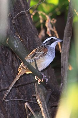 Stripe-headed Sparrow (8263582955).jpg
