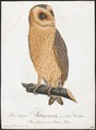 Strix flammea - 1800-1812 - Print - Iconographia Zoologica - Special Collections University of Amsterdam - UBA01 IZ18400237.tif