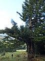 Strom po zásahu bleskom - panoramio.jpg