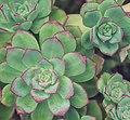 Succulents, Lands End, San Francisco (35599455915).jpg