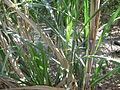 Sugarcane - കരിമ്പ് 02.JPG