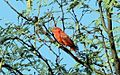 Summer Tanager - Flickr - GregTheBusker.jpg