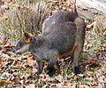 Sumpfwallaby Wallabia bicolor Tierpark Hellabrunn-6.jpg