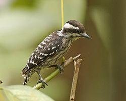 Sunda pygmy woodpecker (Dendrocopos moluccensis) - Flickr - Lip Kee.jpg