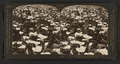 Superb calla lillies growing in field, Cal., U.S.A, from Robert N. Dennis collection of stereoscopic views.png