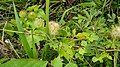 Suriname plants (32723151473).jpg
