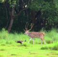 Swamp deer and peacock.png