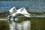 Swan - Lackford Lakes (26230744033).jpg