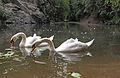 Swans on Prokop valley 2.jpg