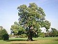 Sweet Chestnut tree in Carshalton Park - geograph.org.uk - 1534352.jpg