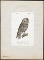 Syrnium aluco - 1842-1848 - Print - Iconographia Zoologica - Special Collections University of Amsterdam - UBA01 IZ18400153.tif