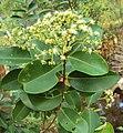 Syzygium caryophyllatum 36.JPG