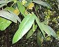 Syzygium mundagam 10.JPG