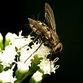 Tachinid Fly (31679399602).jpg