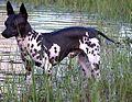 16 / American Hairless Terrier