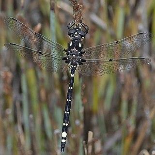<i>Synthemiopsis</i> Genus of dragonflies