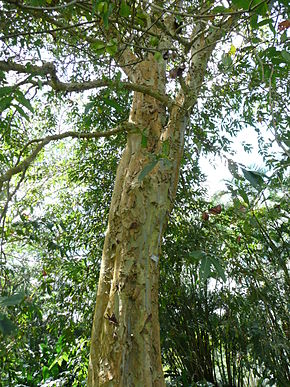 Description de l'image Terminalia arjuna trunk 01 by Line1.JPG.