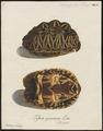 Testudo geometrica - schild - 1700-1880 - Print - Iconographia Zoologica - Special Collections University of Amsterdam - UBA01 IZ11600045.tif