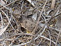 Texas Horned Lizard Beeville TX April 2011.jpg