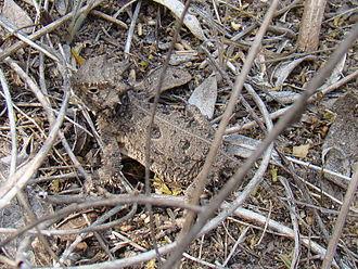 Texas horned lizard - Texas horned lizard in Beeville, Texas