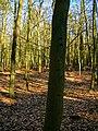 Texel - De Dennen - Beech forest - View ESE.jpg