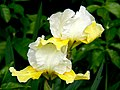 The Iris (5) (8096406606).jpg