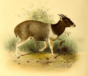 Description de l'image The book of antelopes (1894) Cephalophus jentinki.png.