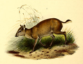 The book of antelopes (1894) Cephalophus maxwelli.png