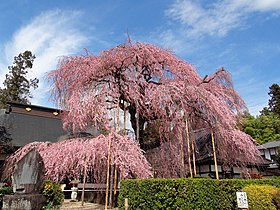 The front of Jiunji-Temple Prunus pendula.JPG