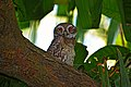 The spotted owlet at evening.jpg