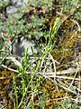 Thesium ramosum sl10.jpg