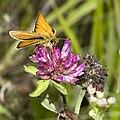 Thymelicus.lineola.6849.jpg