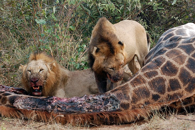 Curiosidades acerca de los leones taringa - Leones apareamiento ...