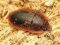 Tiny Sap-feeding Beetle (32977446682).jpg