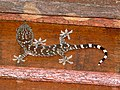 Tokay Gecko (Gekko gecko) juvenile (7846685568).jpg