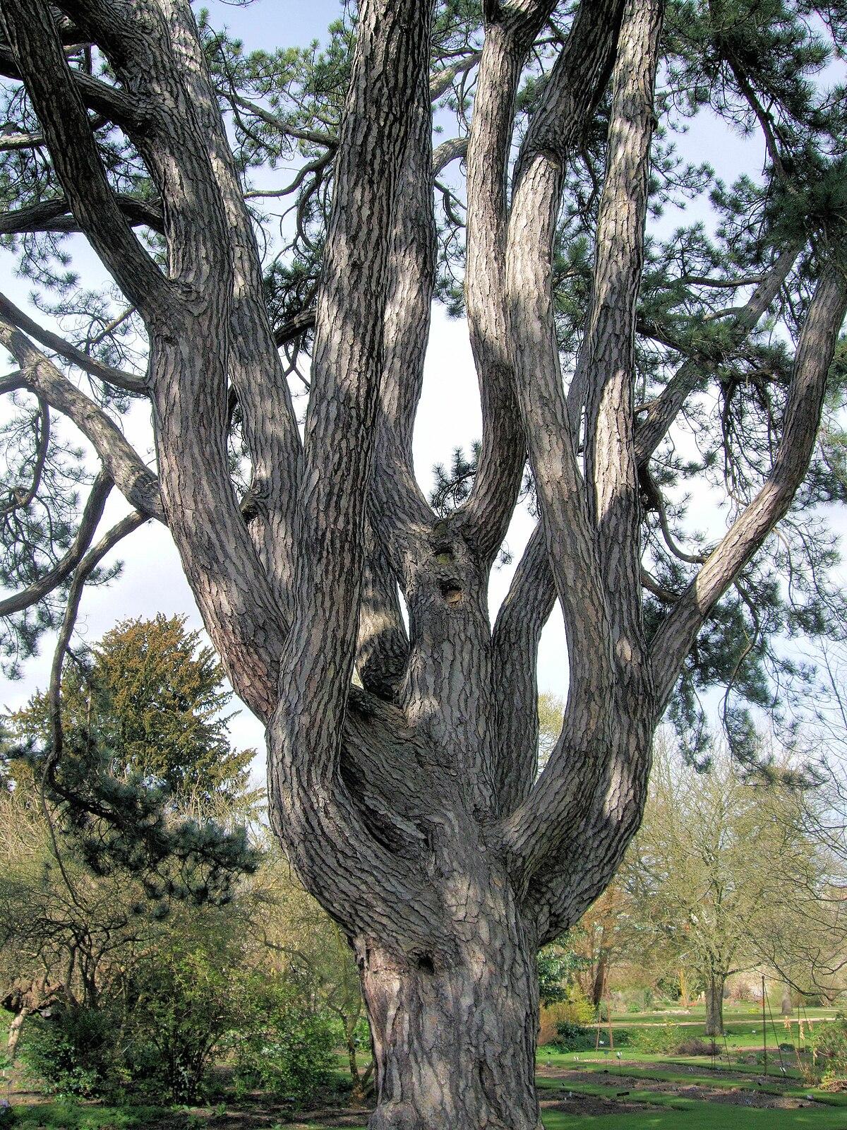 File Tolkien S Favorite Tree Oxford Botanical Garden Jpg