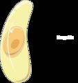 Toxoplasma gondii bradyzoite.png