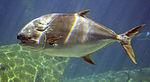 Trachinotus africanus in UShaka Sea World 1007.jpg